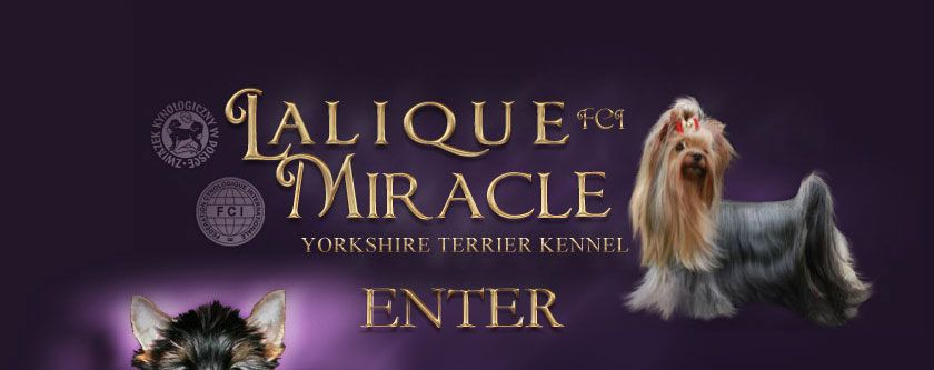 LALIQUE MIRACLE - Yorkshire Terrier Kennel